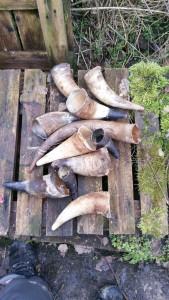Roh Hörner von verschiedenen Rindern