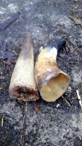 Hornzapfen und Rohhorn