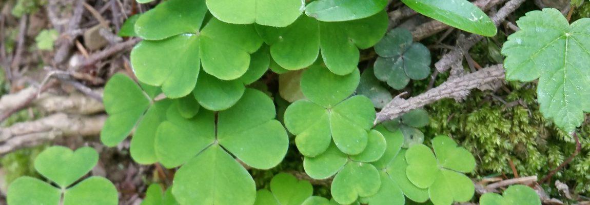 Die Natur und ihre Gifte – Teil 6 – Oxalsäure